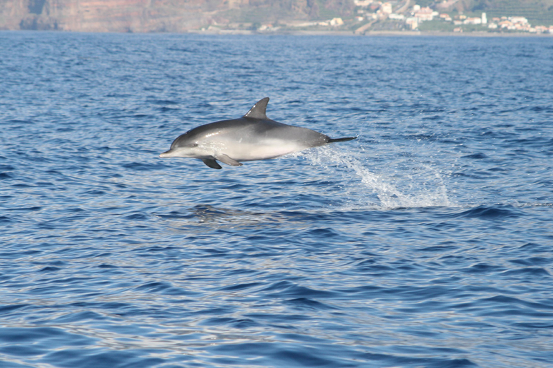 madeira-dolphins